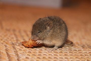 серый мышонок грызёт корочку хлеба