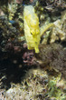 Yellow sea horse portrait underwater