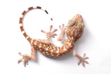 Gecko climbing isolated