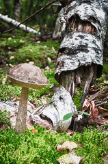 boletus mushroom growing in the forest