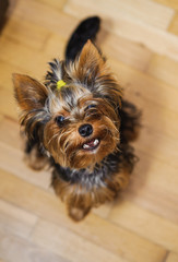 Small Yorkshire terrier. Haircut pet
