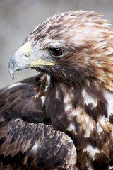 Profile of a Golden eagle (Aquila chrysaetos)