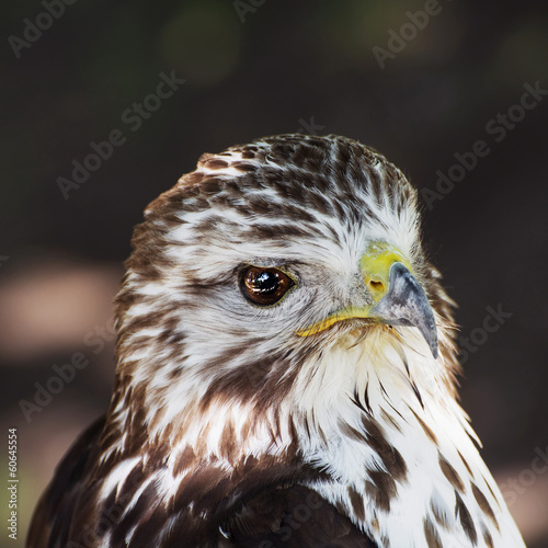 Portrait of a Red-tailed hawk (Buteo jamaicensis)