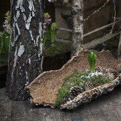 spring hyacinth with cone in moss with snow