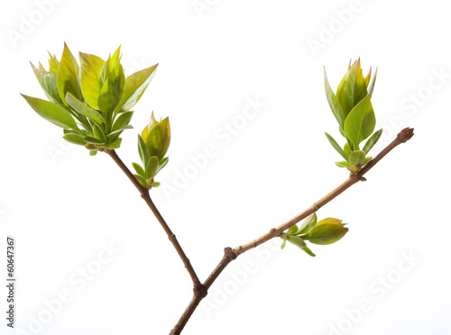Young branch of lilac isolated on white