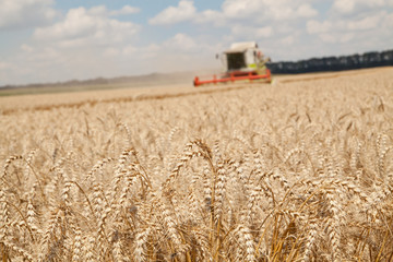 close-up ears of wheat and harvesting machine on background