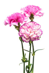 three garden carnation