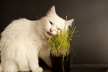 Cat eating wheat grass