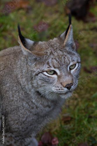 Canvas Lynx Luchs von oben fotografiert