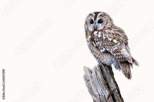Fotobehang Uil Tawny owl, Strix aluco
