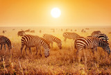 Fototapety Zebras herd on African savanna at sunset.