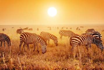 Zebras herd on African savanna at sunset. © Photocreo Bednarek
