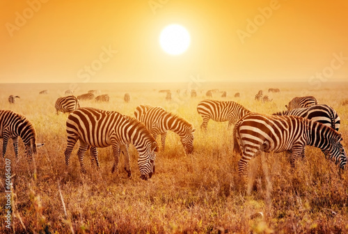 Fotobehang Zebra Zebras herd on African savanna at sunset.