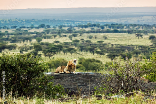 Lion roars on savanna. Safari in Serengeti, Tanzania, Africa
