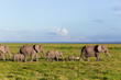 Elephants herd on savanna. Safari in Amboseli, Kenya, Africa