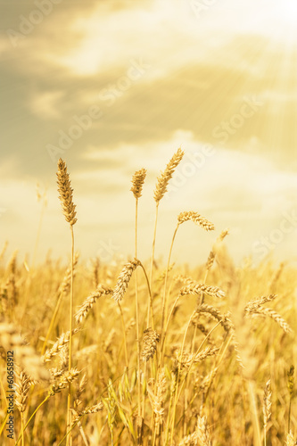 Wheat ears under golden shining
