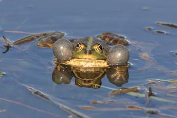 Лягушка с надутыми защёчными мешками