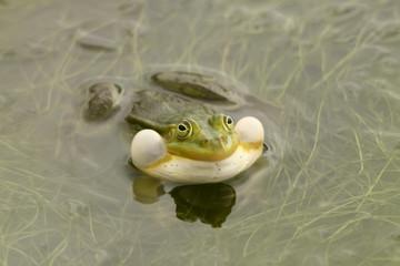 Лягушка с надутыми защёчными мешками улыбается