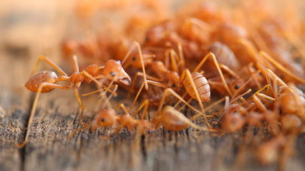 Team work group of red ant