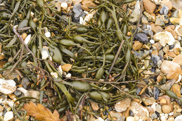 Closeup of seaweed Ascophyllum nodosum, commonly egg wrack.