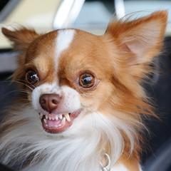 Cute chihuahua showing fang tooth