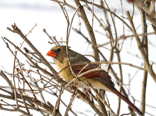 Female Cardinal in Branches