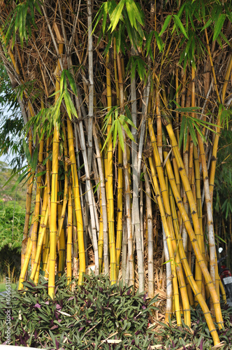 In de dag Bamboo Lot of yellow bamboos in garden
