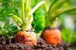 Leinwanddruck Bild - Karotten im Beet