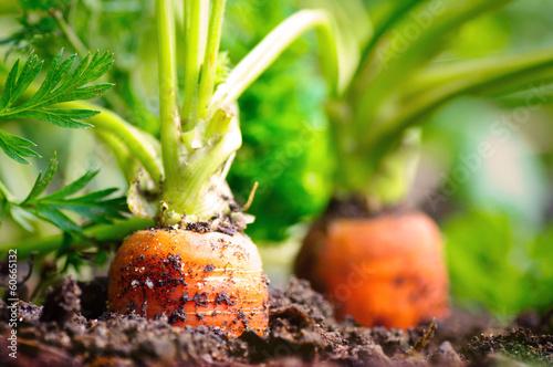 Leinwanddruck Bild Karotten im Beet