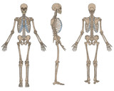 Human Skeleton Anatomy Brown