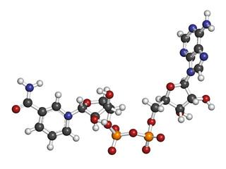 Nicotinamide adenine dinucleotide (NAD+) coenzyme molecule.