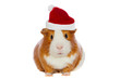 Guinea pig wearing Santa's hat isolated over white