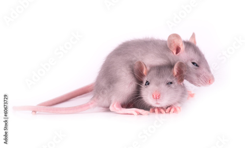 Picture of two tired baby rats on white background