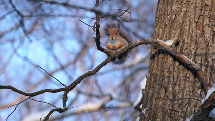 Squirrel in the winter forest. St. Petersburg. Russia