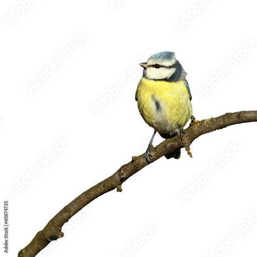 blue tit isolated on white