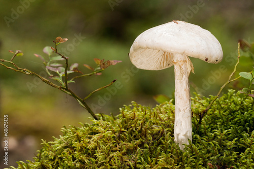 European destroying angel