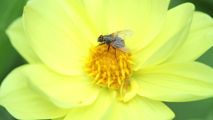 Fly on the flower. Macro. St. Petersburg. Russia