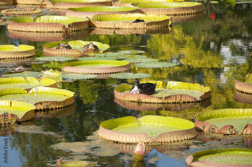 Ducks Floating on Lotus Leaves