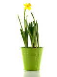 green bucket with yellow narcissus