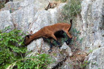 the wild Mallorcan goat in  Sa Calobra bay in Majorca Spain