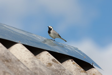 wagtail on the roof