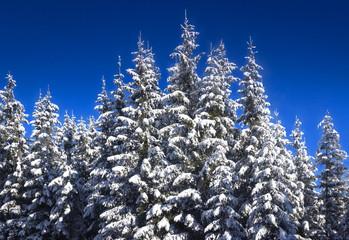 Verschneite Tannenbäume bei Traumwetter