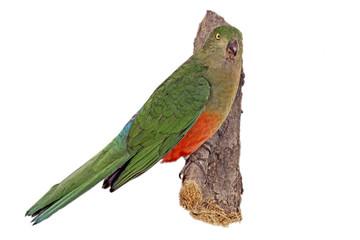 Königssittich (Alisterus scapularis)