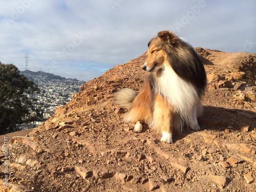 sheltie on the hill