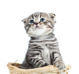 funny baby Scottish british kitten sitting in basket