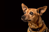 Senior miniature pinscher with cataracts