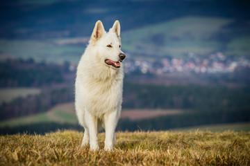 Weißer Schäferhund freistehend