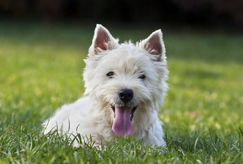 Cute westie puppy looking in the grass