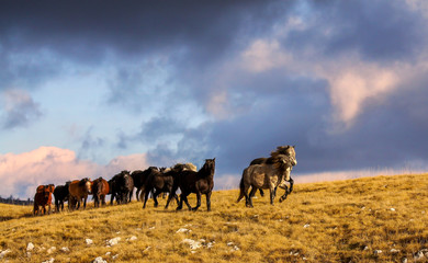 Wild horses running on montain