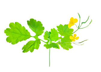 Herb celandine isolated on white. Plant with flowers closeup.